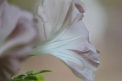 花便り - 朝顔・幻日 -