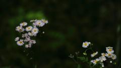 花便り - 可憐な貧乏草 -