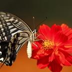 生き物写真館 - 初心に帰って、蝶と花 -