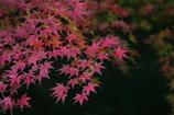 花便り - 濁紅の葉 -