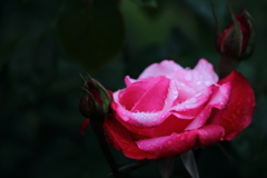 花便り - ゴージャスな伯爵夫人 -