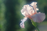 花便り - ジャーマンアイリスの華やぎ -