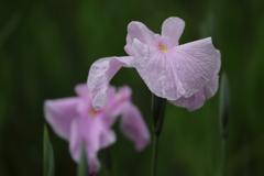 花便り - 優美な薄桃 -