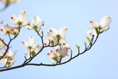 花便り - 花水木への想い -