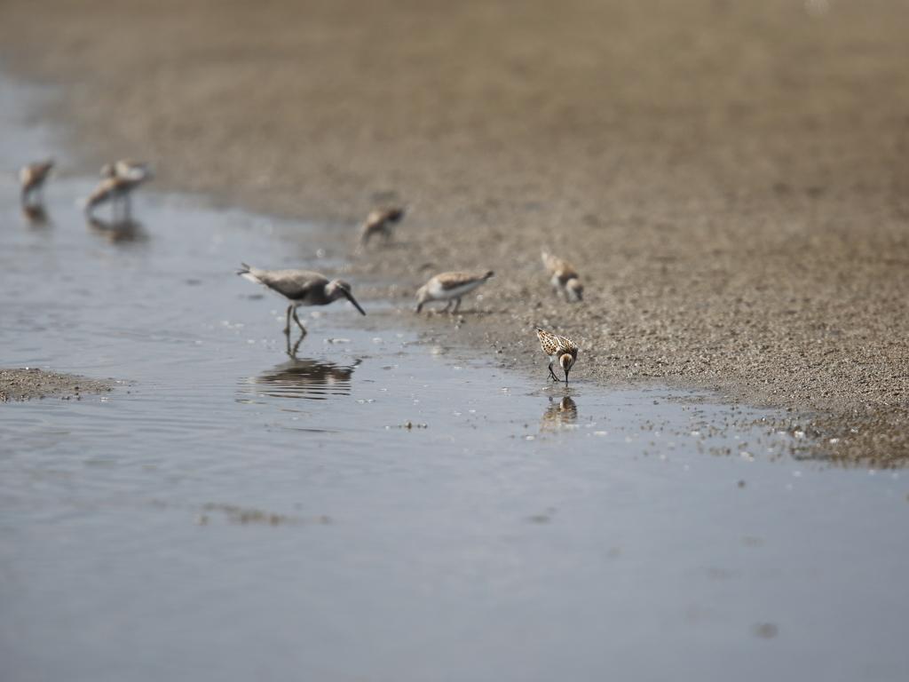 蒲生干潟の野鳥達