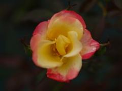 混色の薔薇