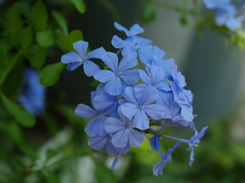 KODAKのCCDで青花を撮る