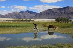メラク村の放牧風景