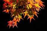 透き通る紅葉