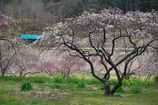 山あいの花桃