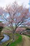 桜並木は散歩道