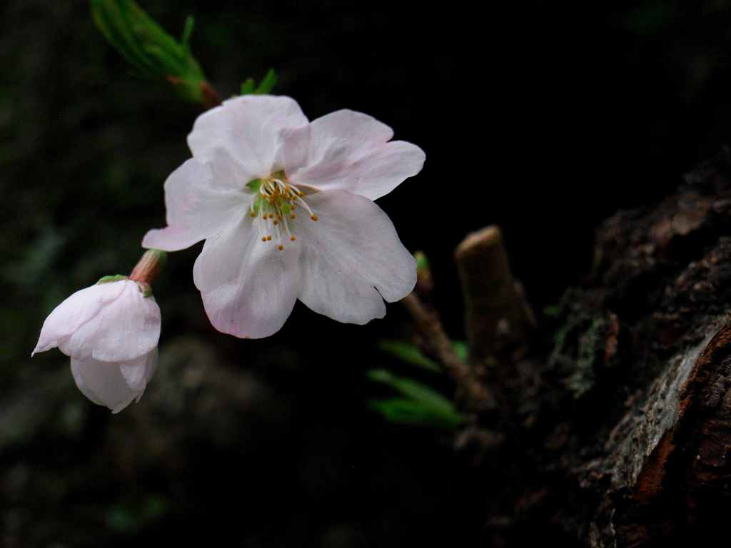 桜、濡れて