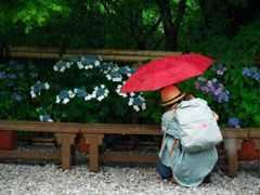 雨の紫陽花とカメラ女子