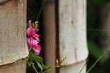 竹垣と萩の花