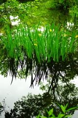 水面に映る梅雨空とキショウブ
