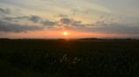 トウモロコシ畑に陽は落ちて