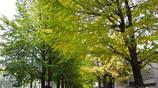 上野の森に銀杏の香り・・・