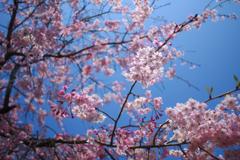 満開の桜の下で2018.0404