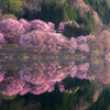 中綱湖の桜~朝の光