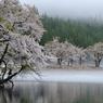 中子の溜池桜