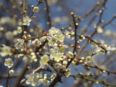 白梅咲くころ