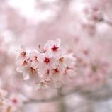桜咲く2014