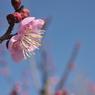 NIKON NIKON D700で撮影した植物(梅、横から)の写真(画像)