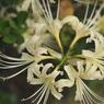 NIKON NIKON D700で撮影した植物(彼岸花 上から)の写真(画像)