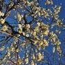 NIKON NIKON D700で撮影した植物(枝垂梅)の写真(画像)