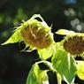 NIKON NIKON D5000で撮影した植物(つれそって)の写真(画像)