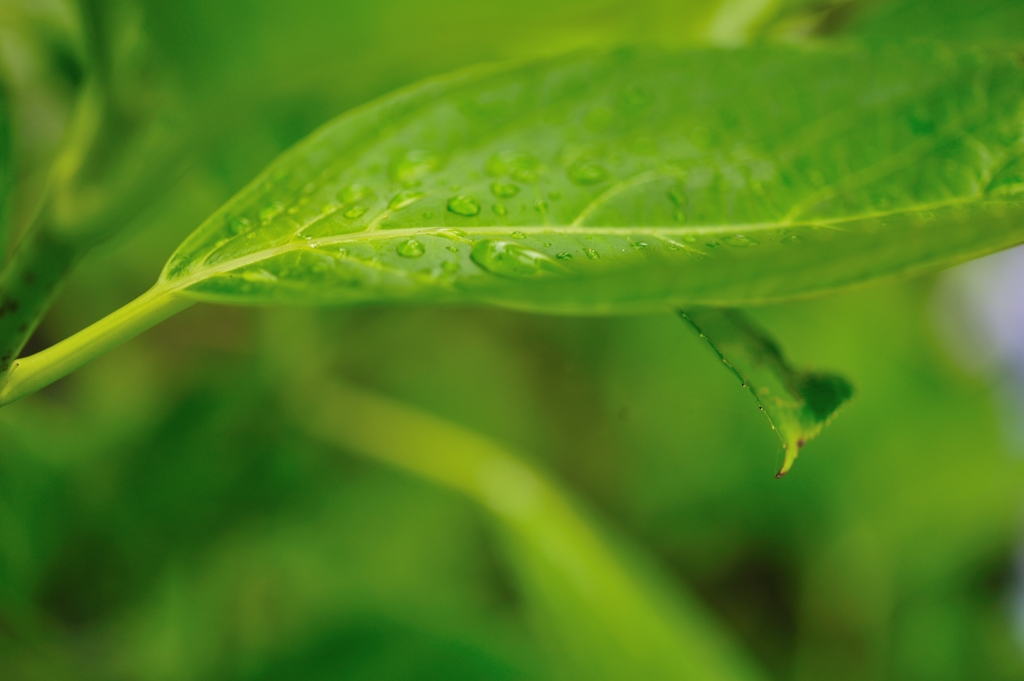 アジサイの葉の上の滴