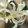 NIKON NIKON D700で撮影した植物(白の彼岸花)の写真(画像)