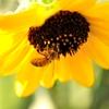 働くミツバチその4