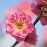 NIKON NIKON D700で撮影した植物(ピンクの梅)の写真(画像)