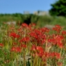 NIKON NIKON D700で撮影した植物(青空と彼岸花)の写真(画像)