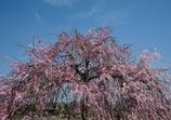 嵐山の枝垂桜