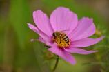 蜜蜂と秋桜