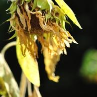 NIKON NIKON D5000で撮影した植物(枯れてゆくヒマワリ)の写真(画像)