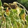NIKON NIKON D5000で撮影した植物(そろって傾くヒマワリ)の写真(画像)