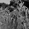 NIKON NIKON D5000で撮影した植物(枯れてゆく・・・)の写真(画像)