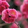 ピンクの玉