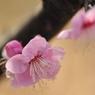 NIKON NIKON D700で撮影した植物(桃色の梅)の写真(画像)
