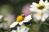 テントウ虫と野路菊