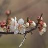 NIKON NIKON D700で撮影した植物(白い梅)の写真(画像)