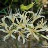 NIKON NIKON D700で撮影した植物(彼岸花 白)の写真(画像)