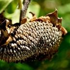 NIKON NIKON D5000で撮影した植物(びっしり詰まってます)の写真(画像)