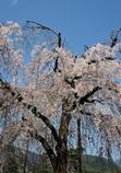 嵐山の枝垂桜その2