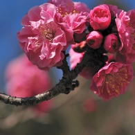 NIKON NIKON D700で撮影した植物(梅)の写真(画像)