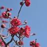 NIKON NIKON D700で撮影した植物(紅梅と青空)の写真(画像)