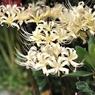 NIKON NIKON D700で撮影した植物(白の彼岸花 3)の写真(画像)
